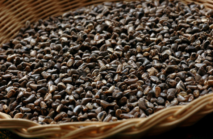 Teosinte: modern corn's ancient ancestor