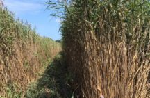 Ecologists working to manage invasive reeds on Six Nations