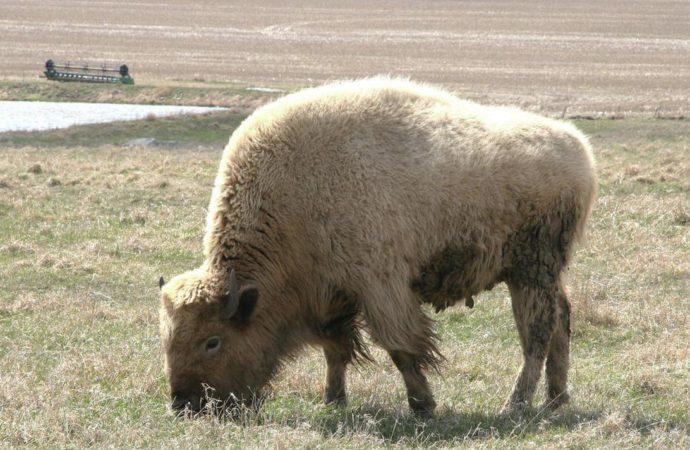 White Buffalo sighting brings hope for peace